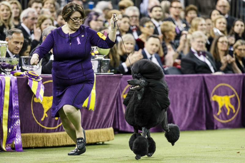 FILE - In this Tuesday, Feb. 11, 2020, file photo, Siba, a standard poodle, competes for Best in Show during 144th Westminster Kennel Club dog show in New York. America's top dogs won't have fans at this year's Westminster Kennel Club dog show. The club announced Monday, March 29, 2021, that spectators and vendors won't be allowed this year because of coronavirus limitations. It's the latest in a series of pandemic shakeups to the nation's most prestigious canine competition, which will be held June 12-13 and has moved from New York City's Hudson River piers and Madison Square Garden to an outdoor setting 25 miles north of Manhattan. (AP Photo/John Minchillo, File)