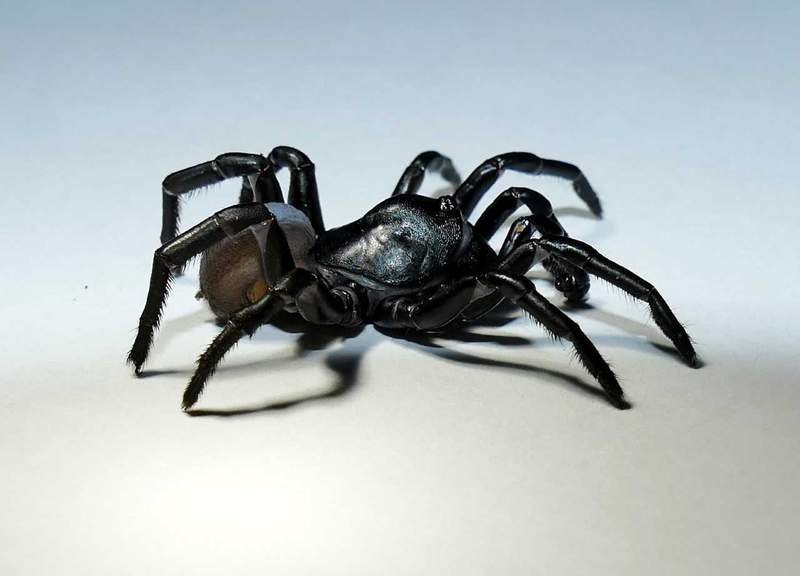 The Pine Rockland Trapdoor Spider was found in the critically endangered Pine Rockland forest surrounding Zoo Miami.