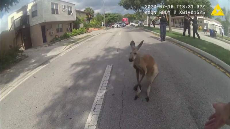 Fugitive kangaroo in Fort Lauderdale has police making an unexpected capture