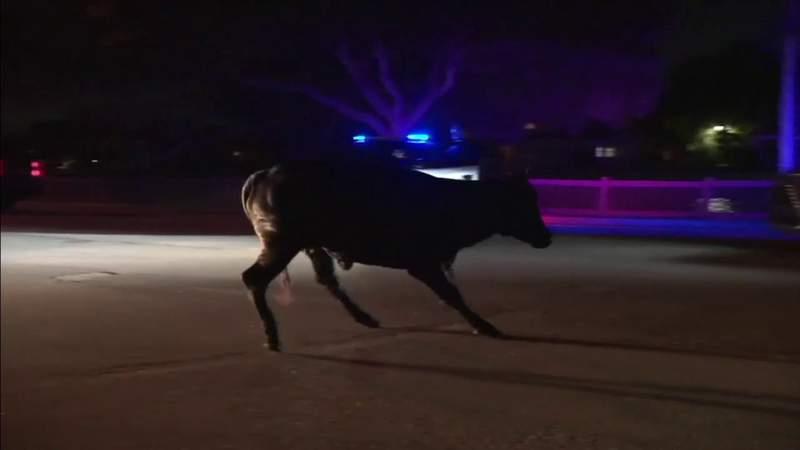 Authorities capture bull caught roaming Cooper City streets