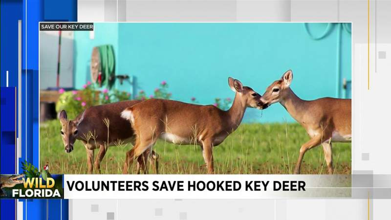 Wild Florida: Volunteers save deer in Florida Keys