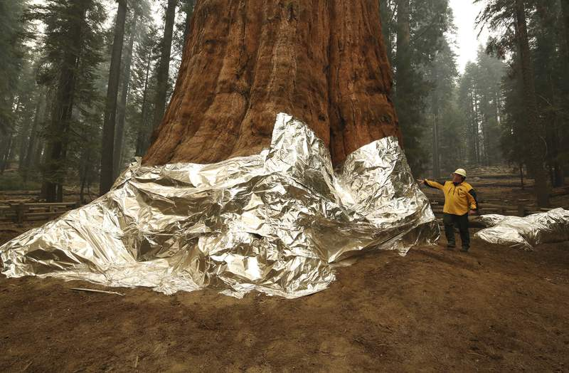 Jon Wallace, Operations Section Chief, looks over General Sherman where the historic tree was protected by structure wrap from fires along with the Four Guardsmen at Sequoia National Park, Calif., Wednesday, Sept. 22, 2021. (AP Photo/Gary Kazanjian)