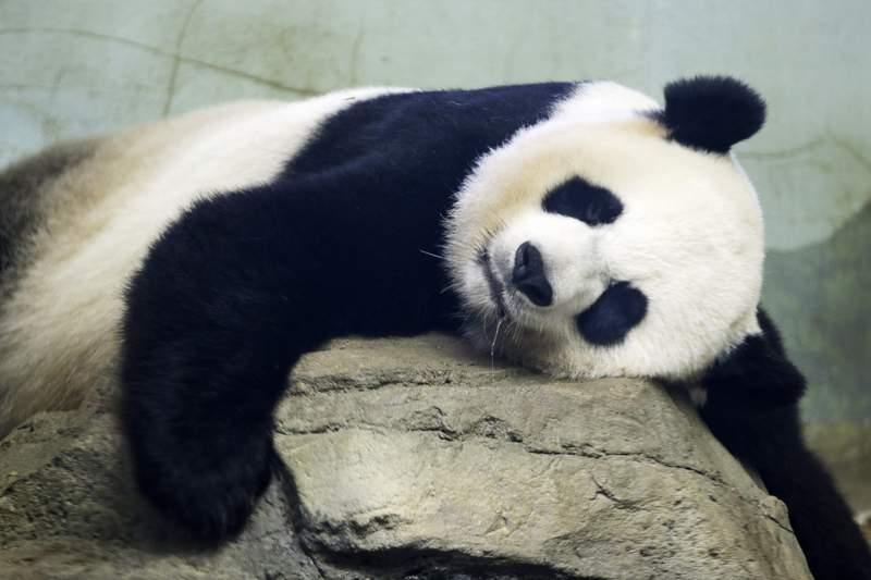 FILE - In this Aug. 23, 2015 file photo, The Smithsonian National Zoo's Giant Panda Mei Ziang,  sleeps in the indoor habitat at the zoo in Washington. Zookeepers at Washingtons National Zoo are on baby watch after concluding that venerable giant panda matriarch Mei Ziang is pregnant and could give birth this week. (AP Photo/Jacquelyn Martin)