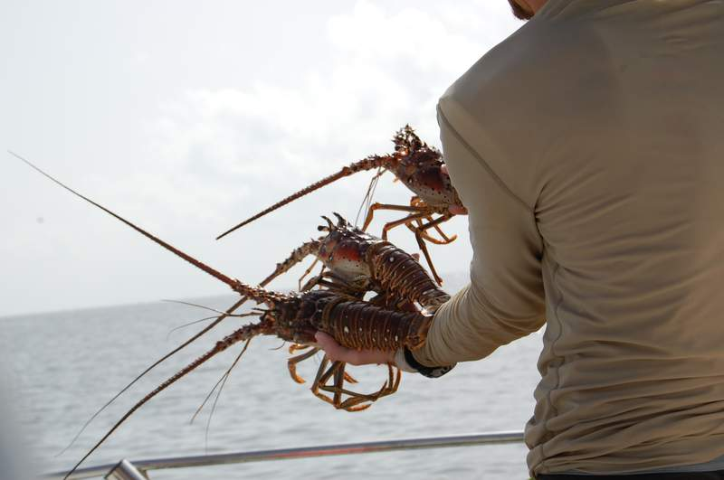 Recreational and commercial spiny lobster season opened Aug. 6. Photo by the Florida Fish and Wildlife Conservation Commission.