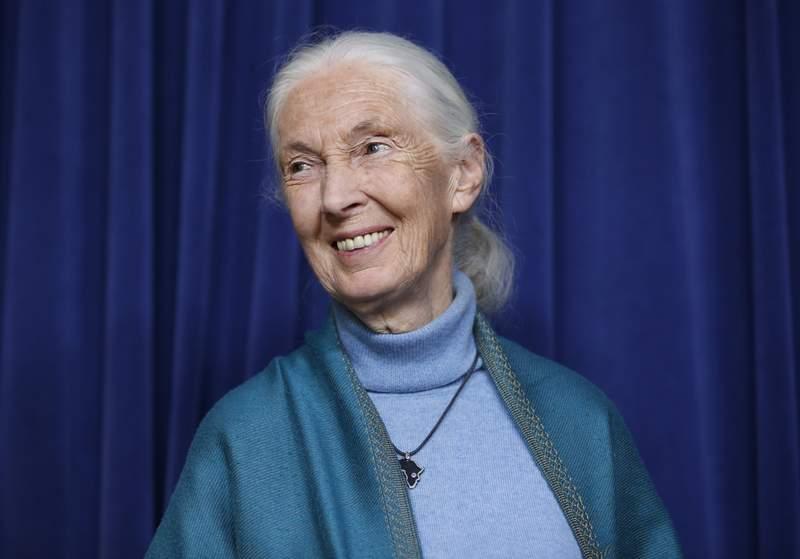 Foto tomada el 3 de abril del 2019 en Los ngeles de la primatloga Jane Goodall. (Foto AP/Damian Dovarganes, File)
