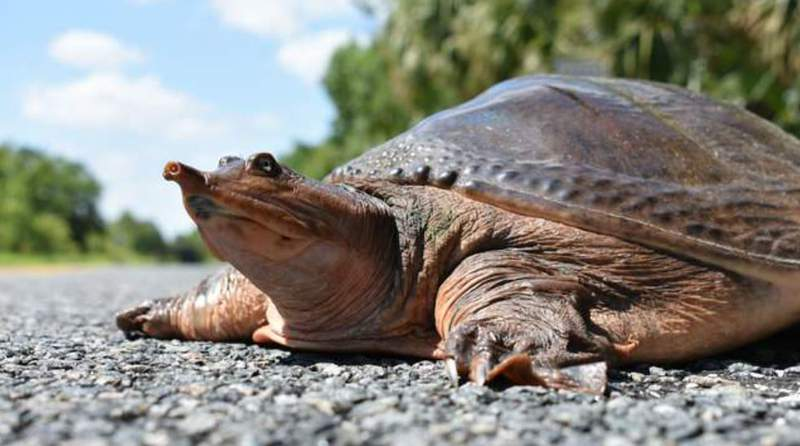 File photo of a turtle courtesy of Florida Fish and Wildlife Conservation Commission