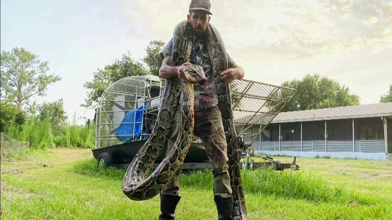 Man known as 'Python Cowboy' catches possible record-breaking snake