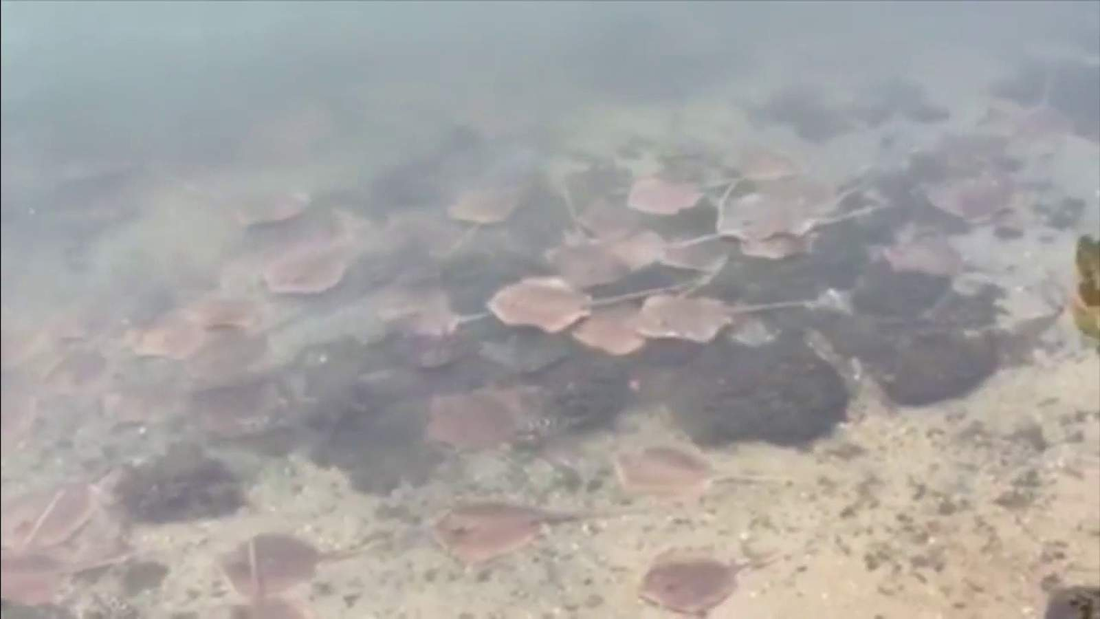 Stingrays desperate for oxygen part of critical tipping point at Biscayne Bay