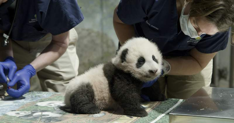 This handout photo released by the Smithsonian's National Zoo shows a panda cub named Xiao Qi Ji in Washington. The National Zoo has struck a new extension of its longstanding agreement with the Chinese government that will keep the zoos iconic giant pandas in Washington for another three years. But the agreement calls into question the long-term future of the zoos popular panda exhibit, as it calls for all three pandasbaby Xiao Qi Ji and parents Mei Xiang and Tian Tianto return to China at the end of 2023(Smithsonian's National Zoo via AP)