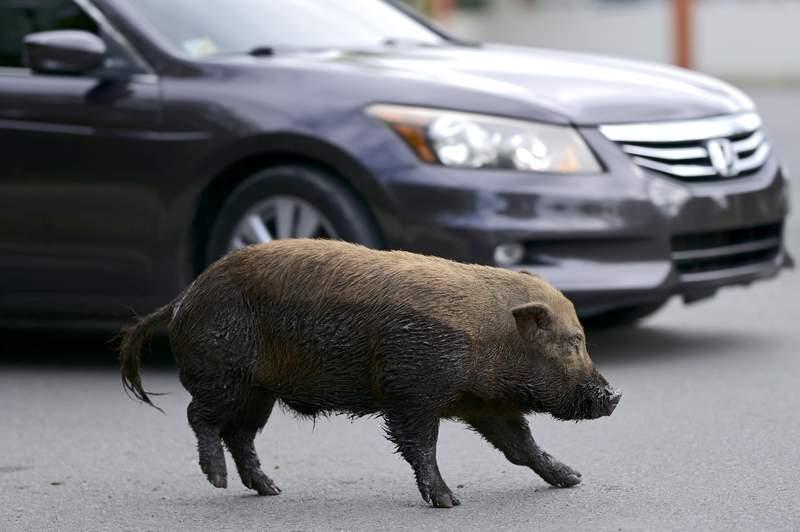 Un cerdo vietnamita cruza una calle en la comunidad de Cantera, en Puerto Rico, el 11 de diciembre del 2020. Los animales se han reproducido a una tasa tal que la isla declar una emergencia el ao pasado para que las autoridades puedan iniciar su erradicacin.  (AP Foto/Carlos Giusti)