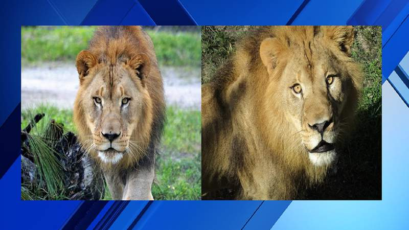 From left: Boone and Vander, who are both 6 years old, came to Lion Country Safari in late September from the North Carolina Zoo.