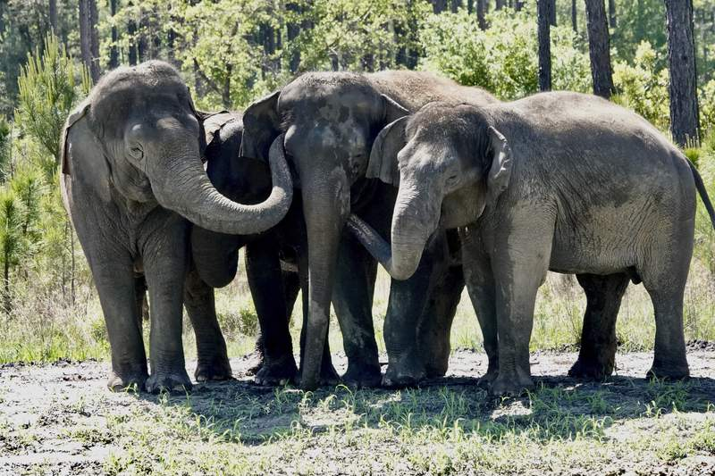 This April 2021 photo provided by White Oak Conservation shows former circus elephants in a group hug at a new wildlife sanctuary in Yulee, Fla., north of Jacksonville. The White Oak Conservation Center announced Monday, May 3 that a dozen female Asian elephants have already arrived at the Yulee refuge. Most of the animals previously traveled with the Ringling Bros. and Barnum & Bailey Circus until they were retired in 2016. (Stephanie Rutan/White Oak Conservation via AP)