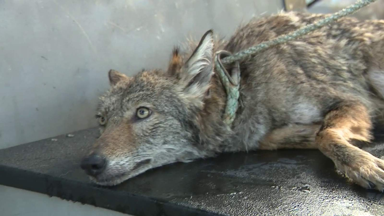 Commissioner who oversees FWC admits admits missteps after rescued coyote was euthanized
