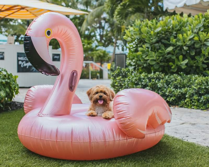 A little dog having a blast at The Confidante Miami Beach.