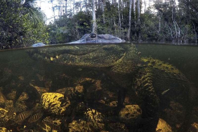 FILE - In this Oct. 30, 2019, file photo, an alligator prowls the waters in the Big Cypress National Preserve in Florida. Federal officials plan to purchase private property within the preserve to provide more wildlife habitat and access to hunting and fishing. (AP Photo/Robert F. Bukaty, File)