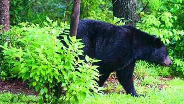 Florida black bear file photo via FWC.