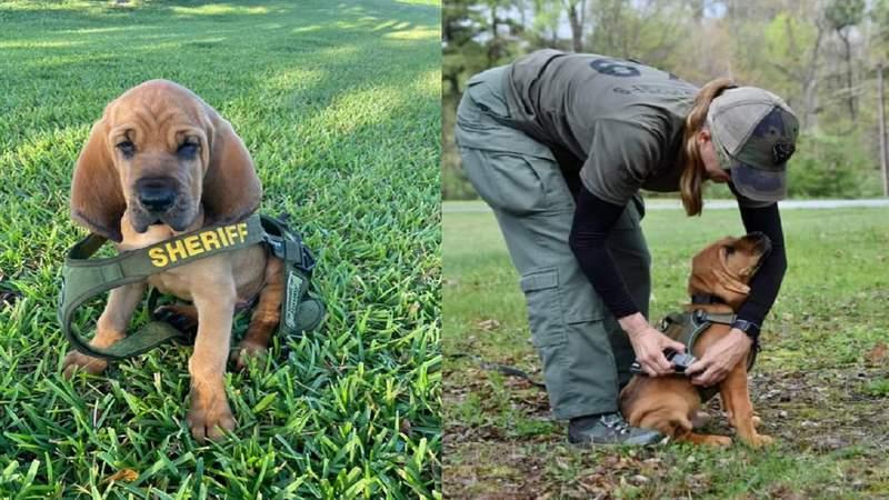 BSO's 10-week-old bloodhound, Anthem D. Ryce.
