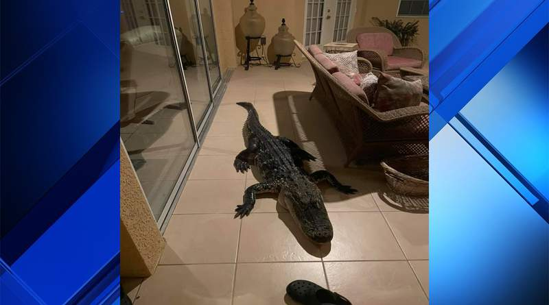 9-foot gator found on patio in Plant City