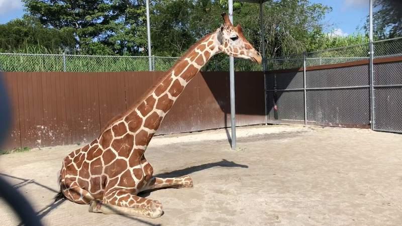 Zoo Miami giraffe immobilized before undergoing series of procedures
