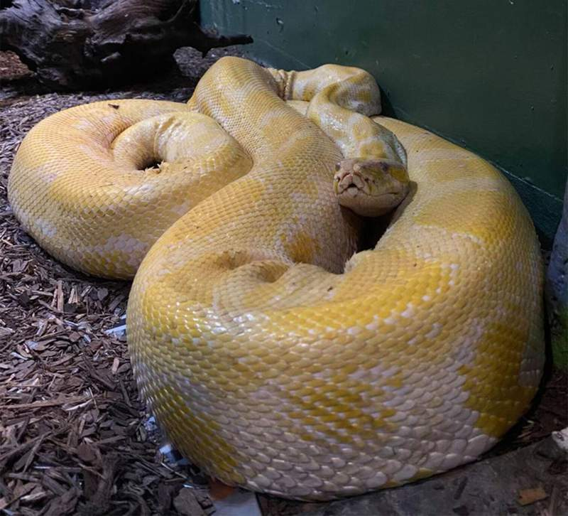 Cara, a yellow and white Burmese python, slithered out of its enclosure at the Blue Zoo in the Mall of Louisiana in Baton Rouge on Tuesday.
