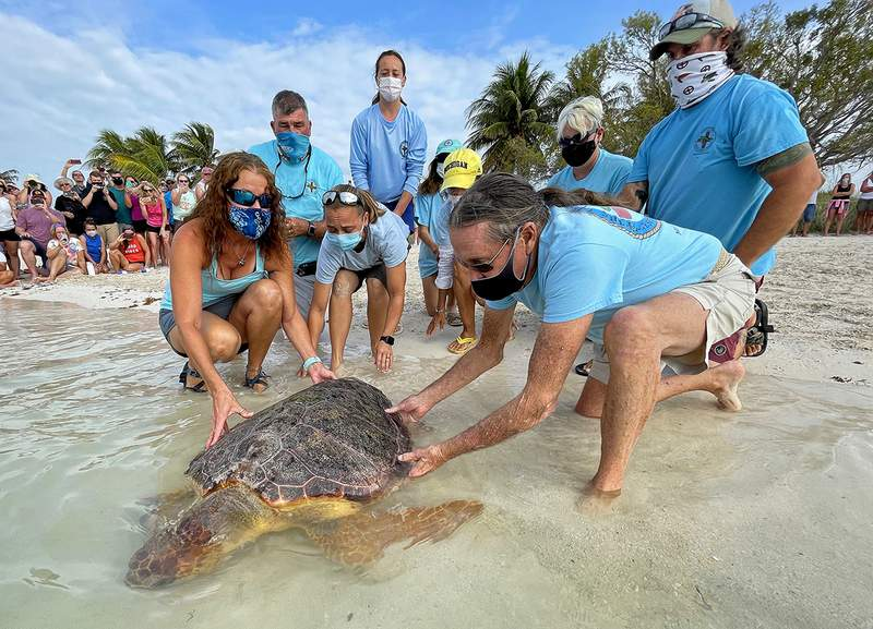 """Bette Zirkelbach, front left, and Richie Moretti, front right, manager and founder respectively of the Florida Keys-based Turtle Hospital, release """"Sparb,"""" a sub-adult loggerhead sea turtle, Thursday, April 22, 2021, at Sombrero Beach in Marathon, Fla. The reptile was found off the Florida Keys in late January 2021 with severe wounds and absent a front right flipper. It was not expected to survive but was treated with a blood transfusion, extensive wound care, broad-spectrum antibiotics, IV nutrition and laser therapy. The turtle made a full recovery and was returned to the wild in conjunction with Thursday's Earth Day celebrations. FOR EDITORIAL USE ONLY (Andy Newman/Florida Keys News Bureau/HO)"""