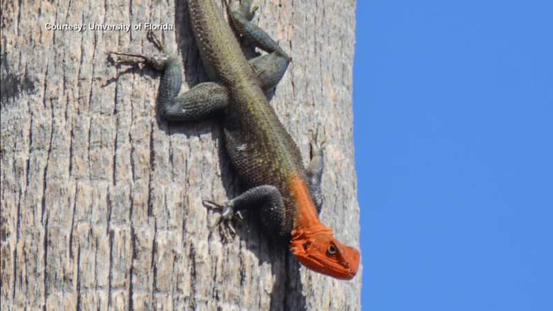 Unusual red-headed reptile spreading across South Florida