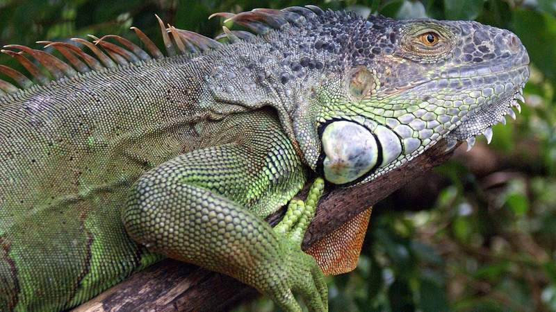 Iguanas would be outlawed at pet shops if a bill proposed by a South Florida lawmaker becomes law.
