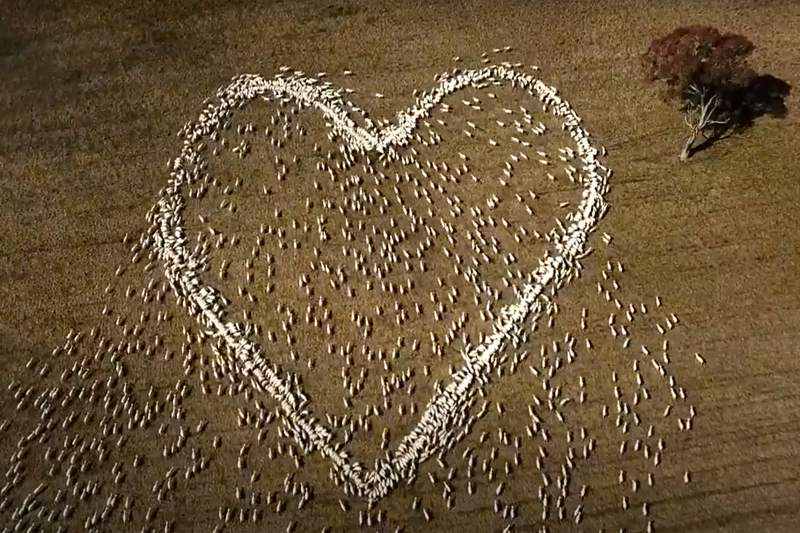 In this image taken from video, sheep form the shape of a heart in a field in Guyra, northern New South Wales, Australia, Thursday, Aug. 5, 2021. Ben Jackson, a sheep farmer stuck in lockdown, was unable to attend his aunt's funeral, has honored her memory with the ultimate tribute, sheep organized in the shape of a love heart. (Ben Jackson via AP)