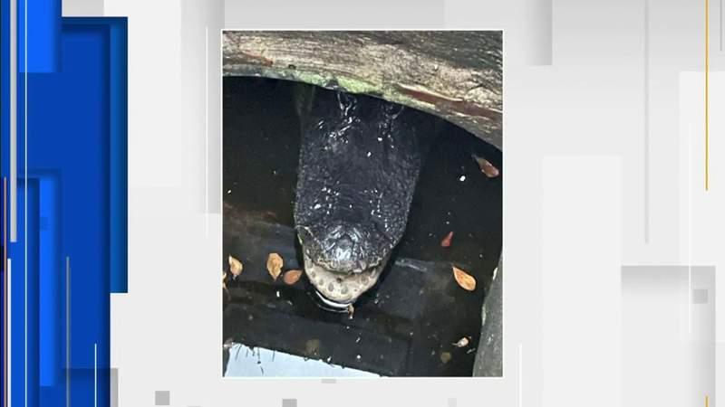 Stir created successful  Miami-Dade vicinity  aft  alligator recovered  successful  tempest  drain
