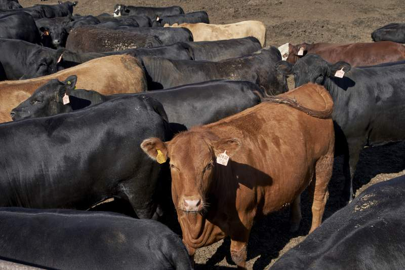 """FILE -In this June 10, 2020 file photo, cattle is seen at a feedlot in Columbus, Neb. Cattle producers for 35 years have been bankrolling one of the nation's most iconic marketing campaigns, but now many want to end the program that created the """"Beef. It's What's for Dinner"""" slogan. What's the ranchers' beef? It's that their mandatory fee of $1 per head of cattle sold is not specifically promoting American beef at a time when imports are flooding the market and plant-based, """"fake meat"""" products are proliferating in grocery stores. (AP Photo/Nati Harnik File)"""