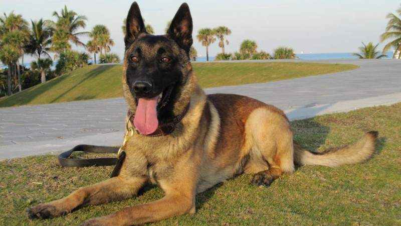 Miami Police Department K9 Officer Falco died on Friday.