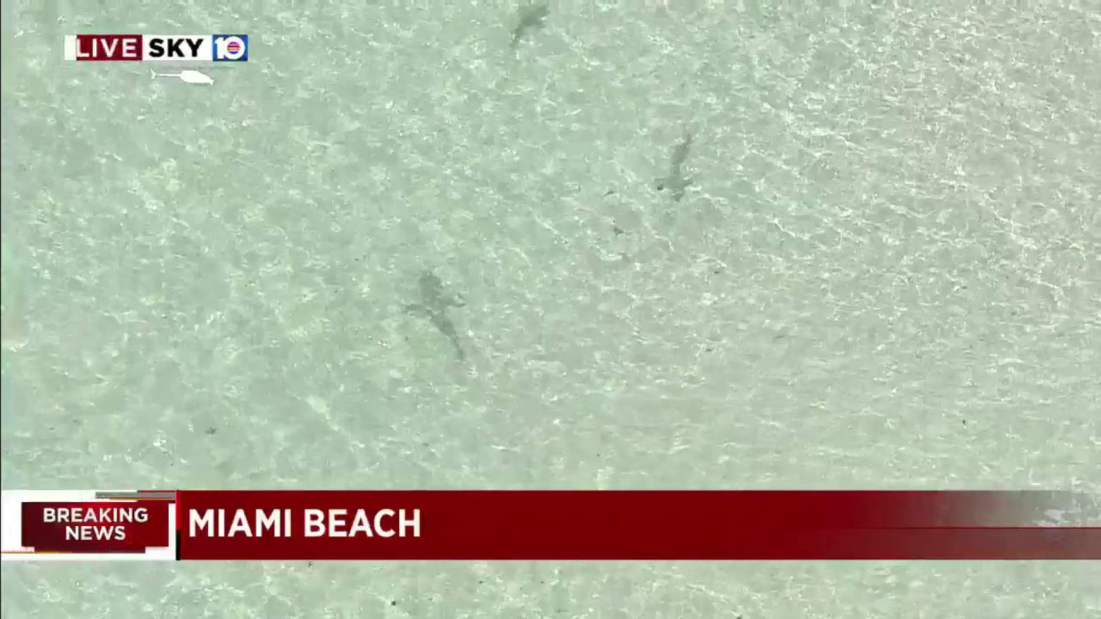 WATCH THIS: Sharks spotted close to Miami Beach shoreline