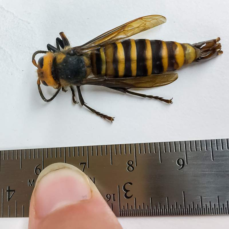 The first male 'murder hornet' every detected in the United States was captured in Washington state.