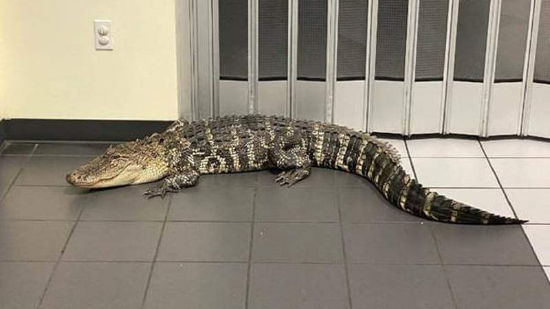 7-foot alligator that was found inside a Florida post office.