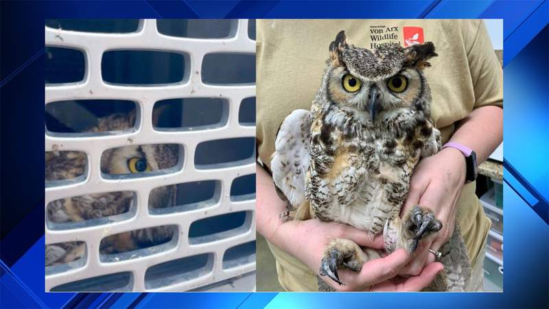 Great horned owl  got stuck in truck's grille. Traveled from Alabama to Naples.
