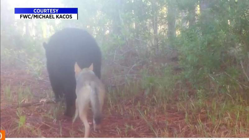 Caught on camera: Bear and coyote walk together on trail
