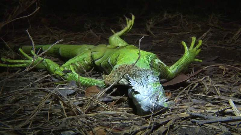 Cold temperatures in South Florida stun iguanas causing them to fall from trees.