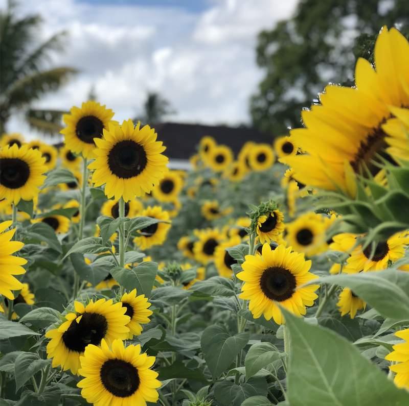 Sunflower field in Miami-Dade County. Photo by Nicole Lopez-Alvar