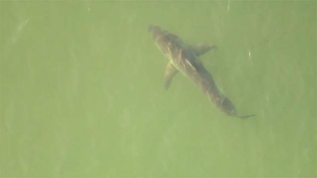 File photo of shark in waters off South Florida
