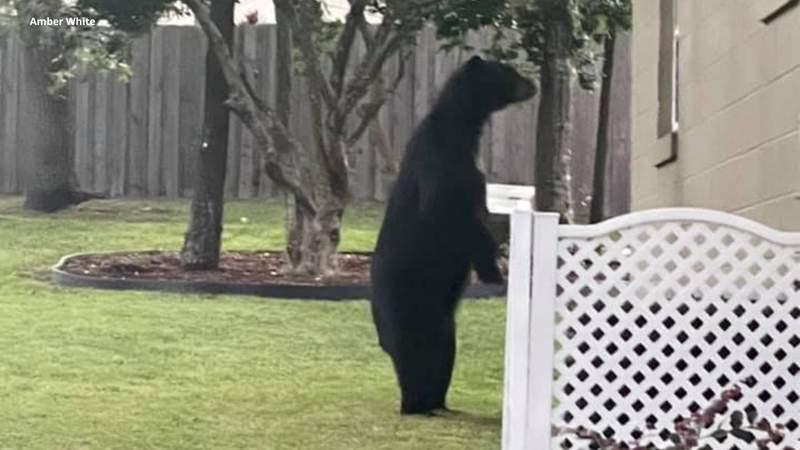 Bear in Longwood