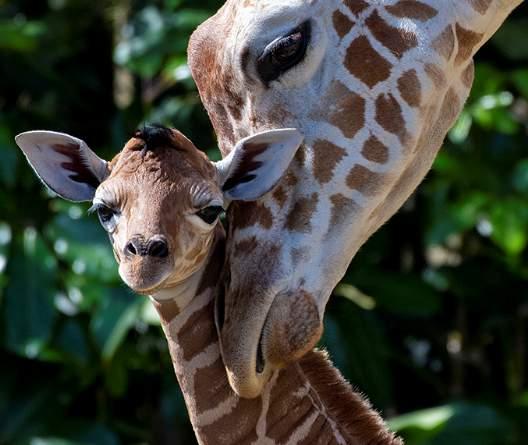 A baby giraffe calf born at Zoo Miami and its mother.