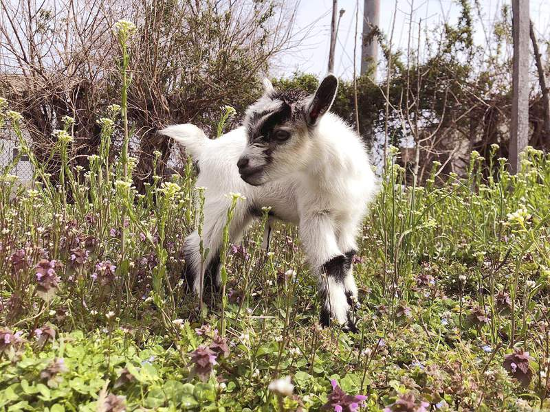 In this March 19, 2020, photo provided by Henry Scott, shows Ed the baby goat at Filbert Street Garden in Baltimore.  Police in Baltimore say the baby goat stolen from a community garden is back home and unharmed. Police said officers were notified Tuesday, May 19, 2020 that the young Nigerian Dwarf goat named Ed had been anonymously returned to his owners (Courtesy of Henry Scott via AP)