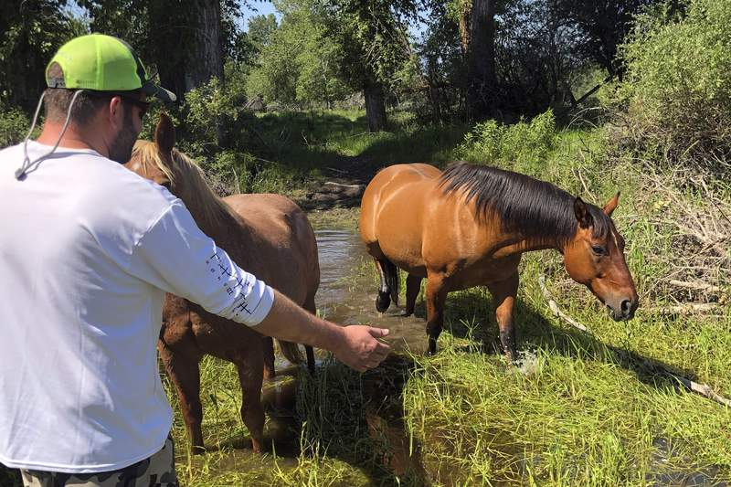Matthew Eickholt of Hamilton, Mont, greets a horse, right, on Tuesday, June 22, 2021, two days after he and his wife rescued the horse from drowning in the Bitterroot River north of Victor, Mont. They coaxed the struggling horse into shallower water to a spot where it could get out of the river. (Christina Eickholt via AP)