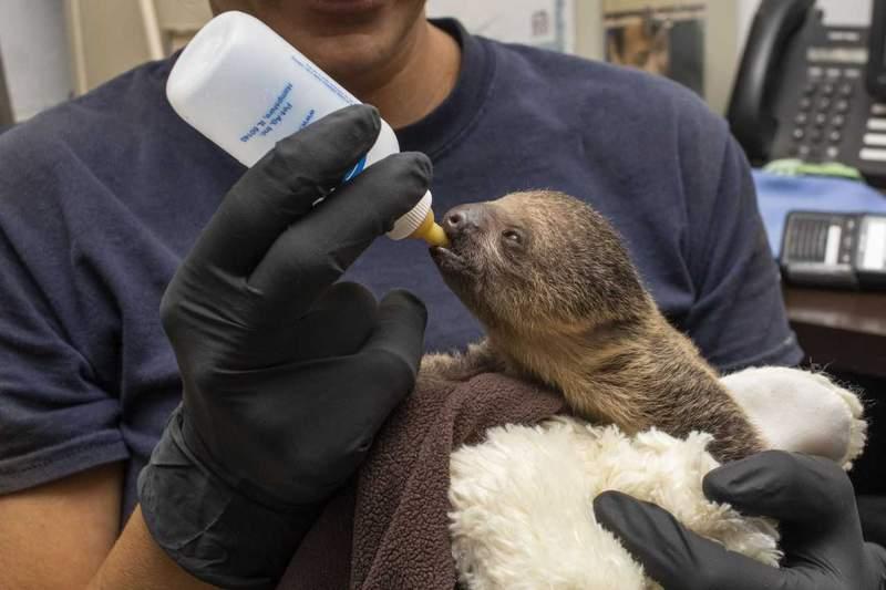 A Linnaeus's two-toed sloth born at Brevard Zoo.