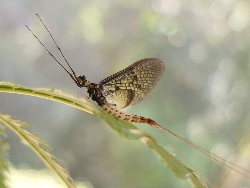 This undated photo provided by the 'Senckenberg Institute' shows a 'Danish Mayfly'. The Danish Mayfly has been selected by a German entomological society as the Insect of the Year for 2021, but wont have long to celebrate its 15 minutes of fame. The insect, whose scientific name is Ephemera danica, only has a few days to fly, mate and lay new eggs. (Wolfgang Kleinsteuber via AP)