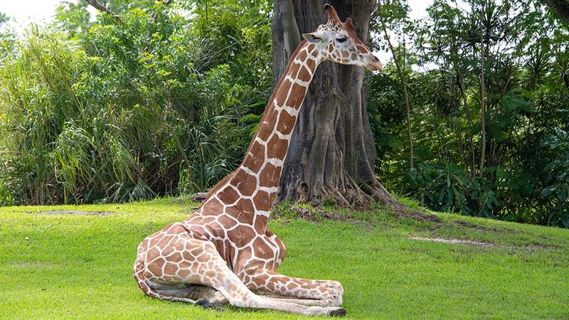 Pogo, a giraffe born at the Denver Zoo, had lived at ZooMiami since 2009 before he was euthanized on Monday in Miami-Dade.
