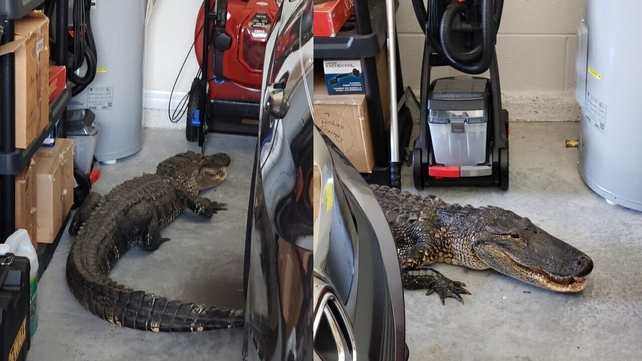 This 7-foot-long alligator was found in a North Port resident's garage.