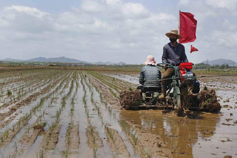 FILE - In this May 25, 2021, file photo, farmers plant rice at the Namsa Co-op Farm of Rangnang District in Pyongyang, North Korea. North Korea is releasing emergency military rice reserves as its food shortage worsens, South Koreas spy agency said Tuesday, Aug. 3, 2021, with a heat wave and drought reducing the country's supply. (AP Photo/Jon Chol Jin, File)