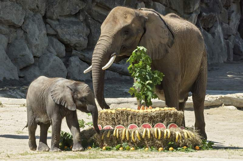 Elephant baby Kibali enjoys her birthday cake besides her mother Numbi at the Schoenbrunn Zoo in Vienna, Austria, Monday, May 18, 2020. Economy Minister Margarete Schramboeck was named godmother to Kibali the elephant in a ceremony at Viennas Zoo. In order to help Austrians envision keeping the recommended one-meter (3.28 feet) apart to protect themselves from the conronavirus, Schramboeck said theyd always told people it was the length of a baby elephant. (Zoo Vienna via AP)