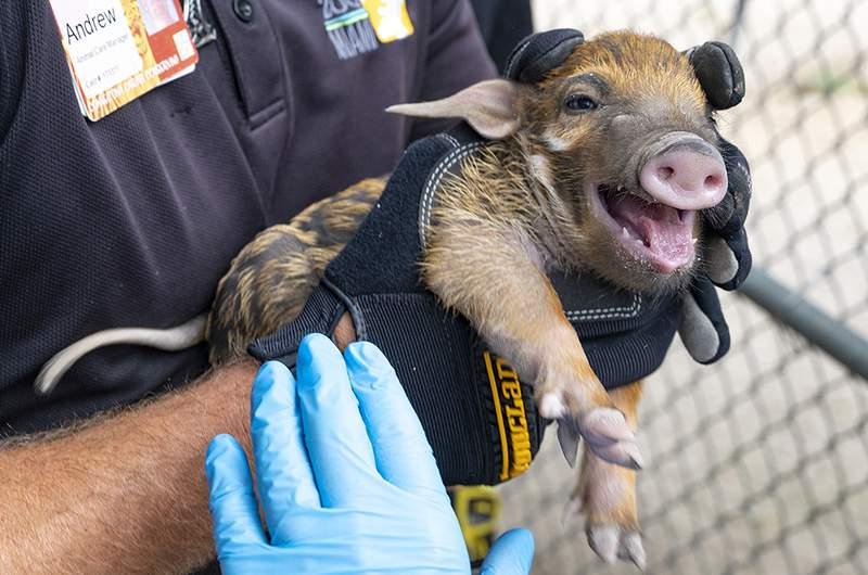 A Red River Hog piglet born at Zoo Miami.